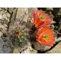 Echinocereus coccineus ''Orange'', Kakteen im Yuccashop kaufen -