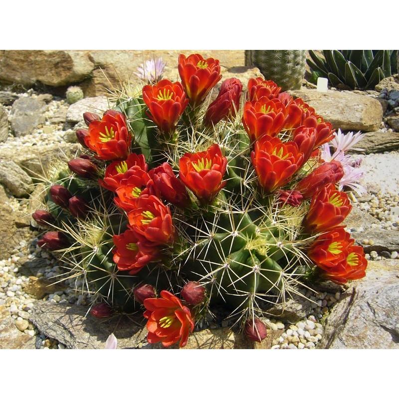 Echinocereus coccineus [Los Alamos], Kakteen vom Yuccashop -