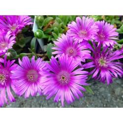 Delosperma ''Pink Sun'', Mittagsblumen vom Yuccashop kaufen -