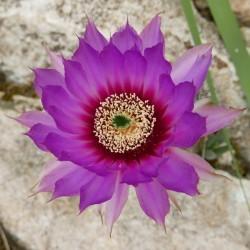 Echinocereus reichenbachii ssp. caespitosus, Kakteen vom Yuccashop -