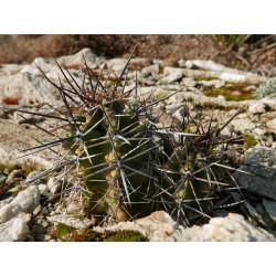 Echinocereus triglochidiatus [Cibola Mtns.], Kakteen vom Yuccashop -
