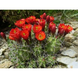 Echinocereus triglochidiatus [La Sal], Kakteen im Yuccashop kaufen -