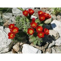 Echinocereus triglochidiatus [Mesilla Park], Kakteen vom Yuccashop -