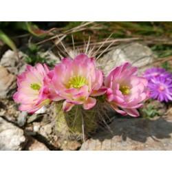 Echinocereus x roetterii, Kakteen im Yuccashop kaufen -