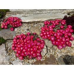 Delosperma 'Pink Ribbon', Zwergige Mittagsblumen vom Yuccashop -