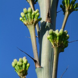 Agave lechuguilla Hybride, Schienbein-Dolch-Agave, Yuccashop -