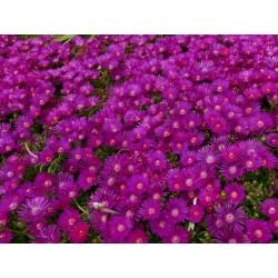 Delosperma obtusum 'Tiffendell KG', Mittagsblumen vom Yuccashop -