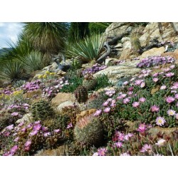 Delosperma-Set ''Pastell Juwelen'', Mittagsblumen, Yuccashop -