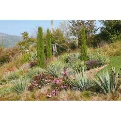 Yucca-Set ''Buschbildende Hybriden'', Pflanzensets, Yuccashop -