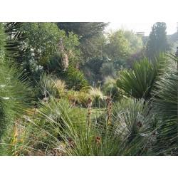 Yucca-Set ''Stark wachsende Hybriden'', Pflanzensets, Yuccashop -