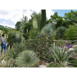 Yucca-Set ''Stamm bildende Hybriden'', Pflanzensets, Yuccashop -