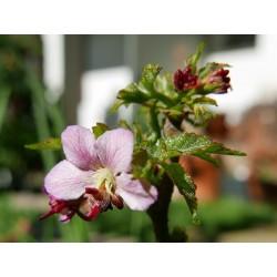 Ungnadia speciosa, Gehölze vom Yuccashop -