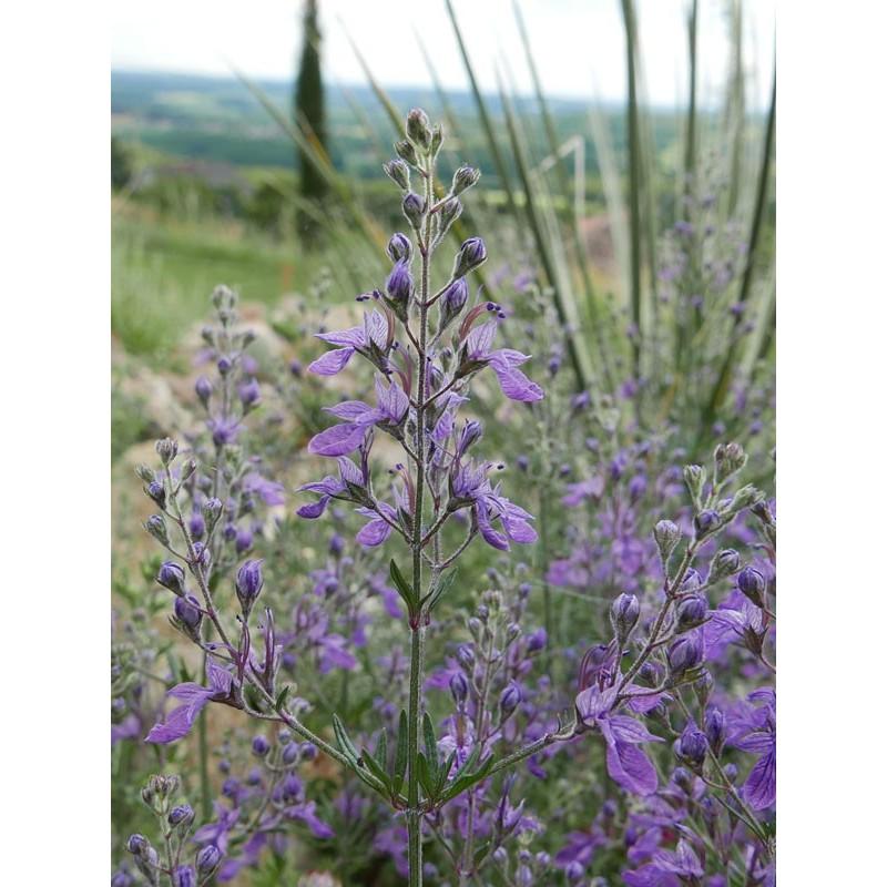Teucrium orientale, Gehölze vom Yuccashop -
