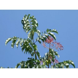 Tetradium daniellii var. hupehensis, Gehölze vom Yuccashop -
