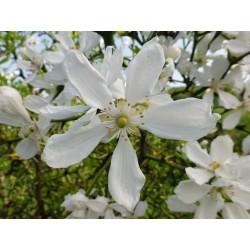 Poncirus trifolia, Gehölze vom Yuccashop -