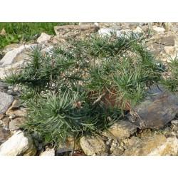 Plantago sempervirens, Gehölze vom Yuccashop -