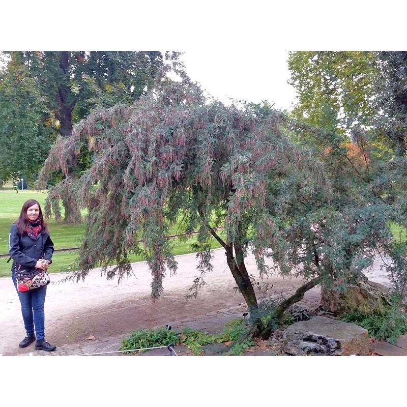 Sophora davidii, Gehölze vom Yuccashop -