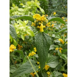Phlomis longifolia, Gehölze vom Yuccashop -