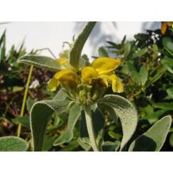 Phlomis fruticosa, Gehölze vom Yuccashop -