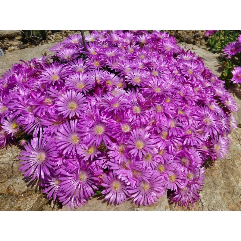 Delosperma obtusum 'Pink Zulu', Mittagsblumen vom Yuccashop -