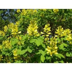 Petteria ramentacea, Gehölze vom Yuccashop -
