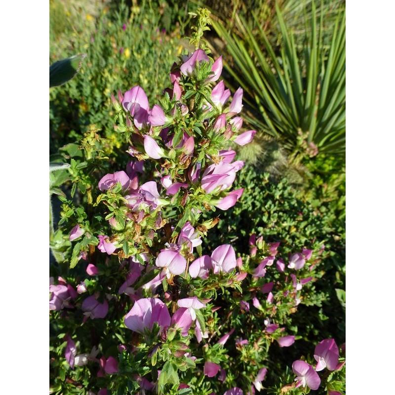 Ononis spinosa, Gehölze vom Yuccashop -