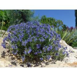 Moltkia petraea, Gehölze vom Yuccashop -