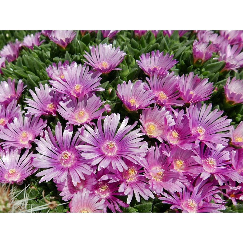 Delosperma obtusum 'Lavander KG', Mittagsblumen vom Yuccashop -