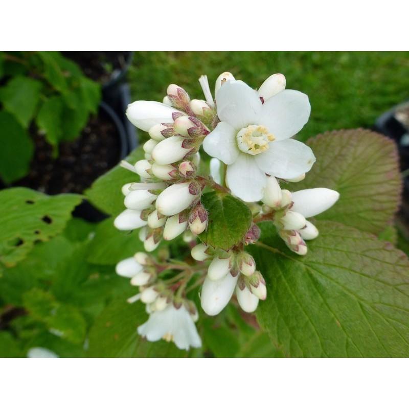 Jamesia americana, Gehölze vom Yuccashop -