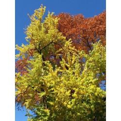 Maclura pomifera, Gehölze vom Yuccashop -