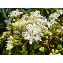 Heptacodium miconioides, Gehölze vom Yuccashop -