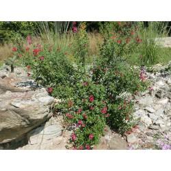 Salvia x jamensis ''Rot'', Gehölze vom Yuccashop -