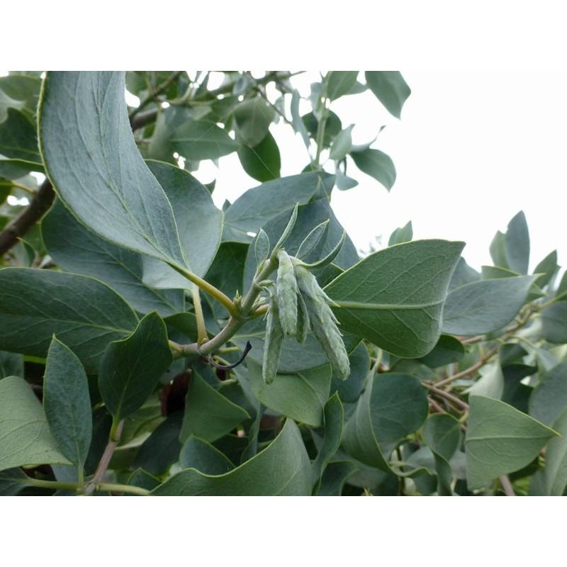 Garrya flavescens, Gehölze vom Yuccashop -