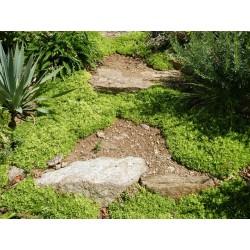 Delosperma 'Rosenteppich', Mittagsblume, im Yuccashop -