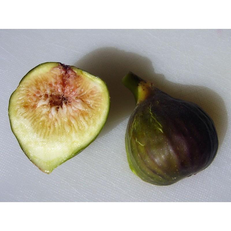 Ficus carica 'Osborn Prolific', Gehölze, Yuccashop -