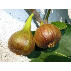Ficus carica ''Auersperggasse'', Gehölze, Yuccashop -