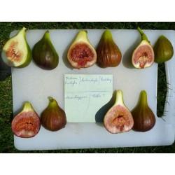 Ficus carica 'Podersdorfer', Gehölze, Yuccashop -