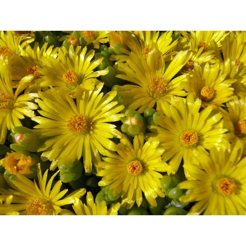 Delosperma nubigenum 'CF', Wolken-Mittagsblumen vom Yuccashop -