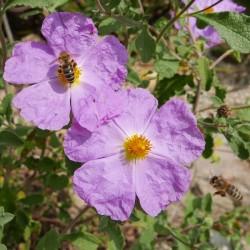 Cistus incanus ssp. tauricus, Zistrose im Yuccashop kaufen -