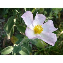 Cistus × lenis 'Grayswood Pink', Zistrose im Yuccashop kaufen -