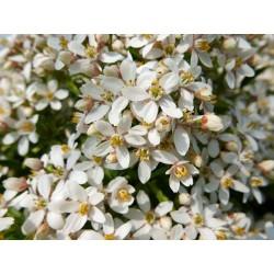 Choisya x dewitteana 'White Dazzler', Orangenblume vom Yuccashop -