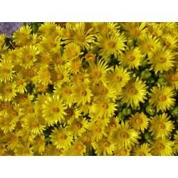 Delosperma nubigenum, Wolken-Mittagsblumen vom Yuccashop -