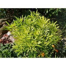Choisya x dewitteana 'Aztec Gold', Orangenblume vom Yuccashop -