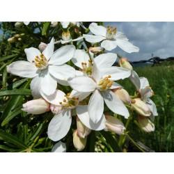 Choisya x dewitteana 'Aztec Pearl', Orangenblume vom Yuccashop -