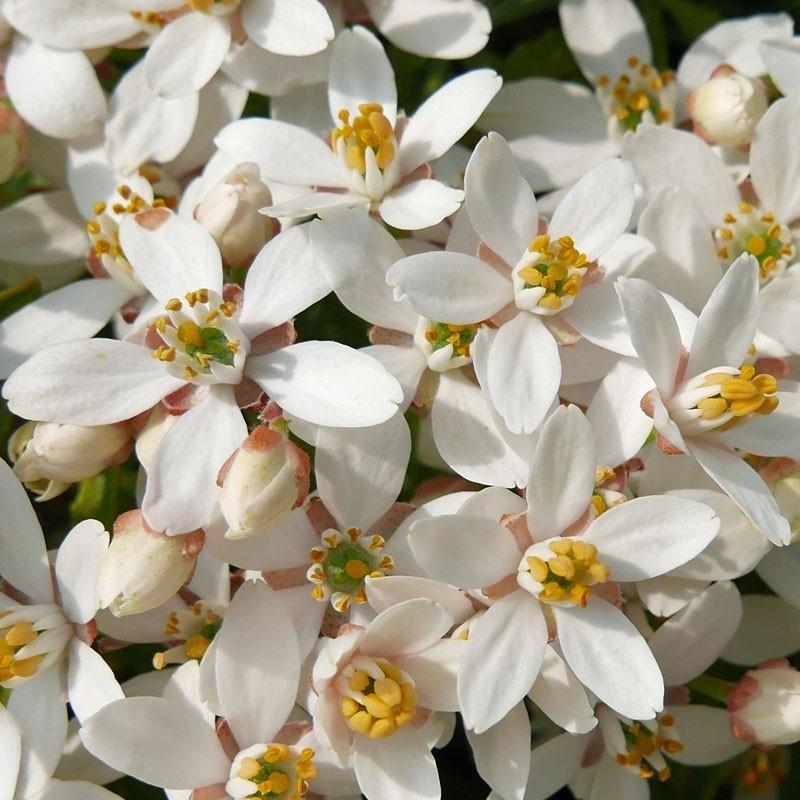 Choisya × dewitteana 'Snow Flurries', Orangenblume vom Yuccashop -
