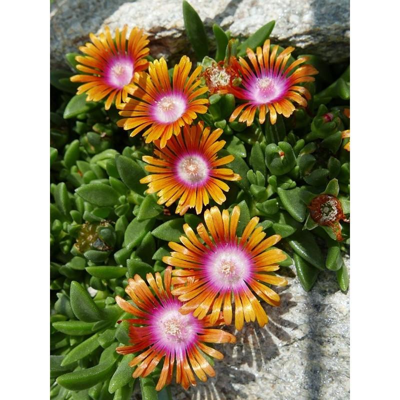 Delosperma 'New Fire', Mittagsblume, im Yuccashop kaufen -