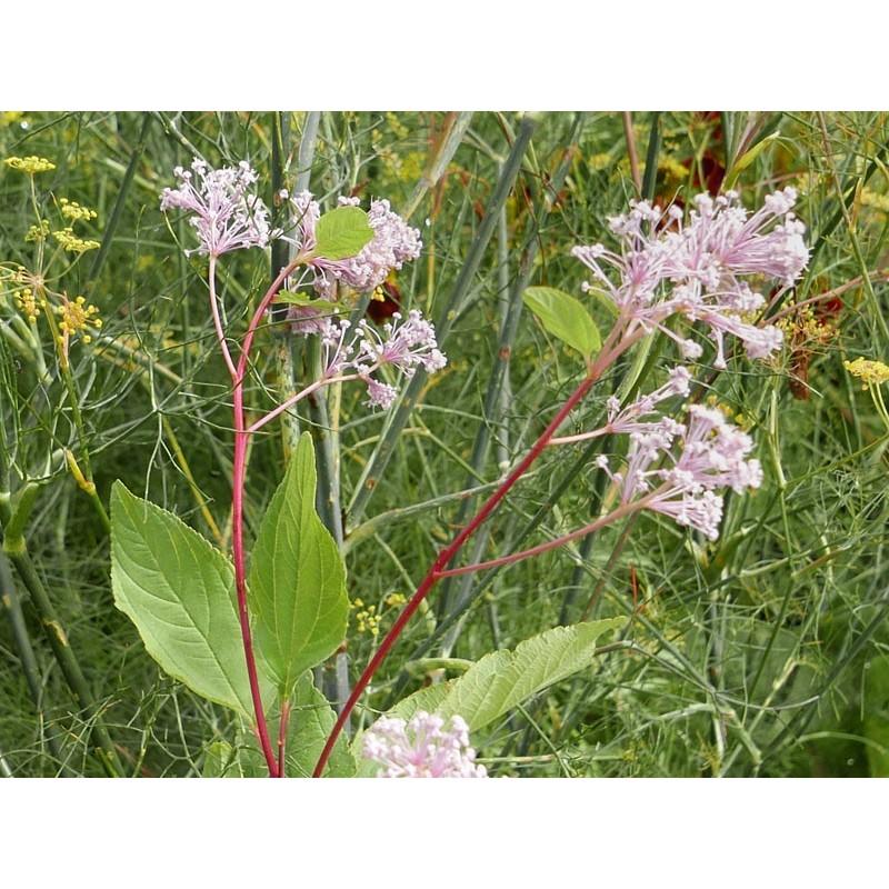 Ceanothus americanus, Gehölze vom Yuccashop -