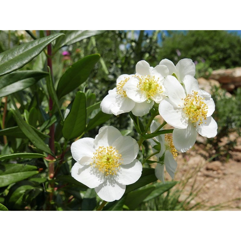 Carpenteria californica [Fresno Co.], Gehölze vom Yuccashop -