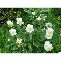 Carpenteria californica (Kulturform), Gehölze vom Yuccashop -