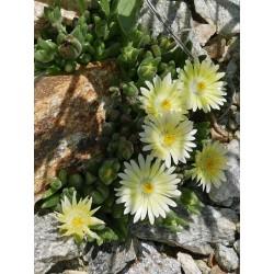 Delosperma ''Mondschein'', Zwergige Mittagsblumen vom Yuccashop -